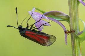Bestäubungsmechanismus Händelwurz - Zygaena purpurea auf Gymnadenia gonopsea