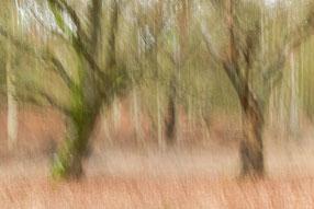 Zwei Eichen im Draßer Urwald