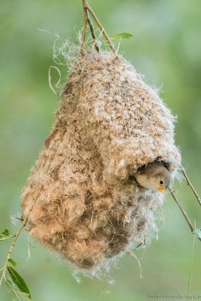 Jungvogel am Nestausgang
