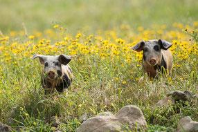 Glücksschweine, Zypern 2016