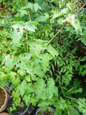 Acer crataegifolium (ウリカエデ)