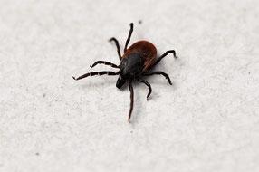 Une tique de l'espèce Ixode Ricinus son corps de couleur brun et ses 8 pattes sur un fond gris qui provoque la maladie de Lyme chez le chien comme chez l''homme par coach canin 16 educateur canin en charente
