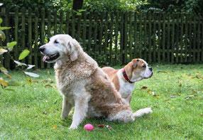 zwei Continental Bulldoggen