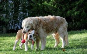 zwei Bulldoggen
