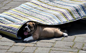 Continental Bulldog Welpe