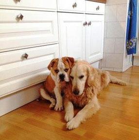 Continental Bulldog und Futter