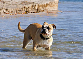 Continental Bulldog Welpen