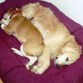 Continental Bulldog Zweithund