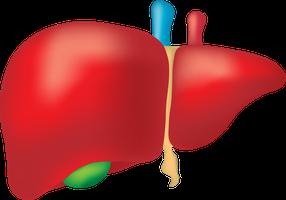 Disegno del fegato
