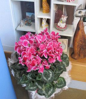 埼玉県の冬の花シクラメン