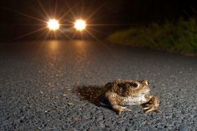 Kröte im Scheinwerferlicht eines Autos
