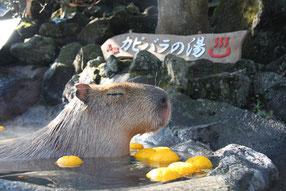 伊豆・シャボテン公園「カピバラのゆず湯」より