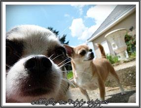 La puberté chez le chien : chihuahua