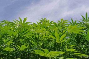 Hanfplantage,hanffeld im freien,outdoor,