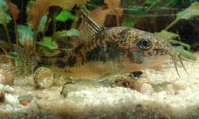 marmorierter Panzerwels - Corydoras paleatus