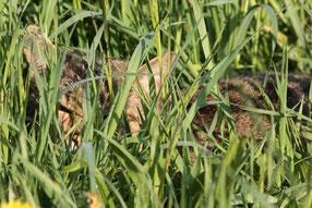 Wildkatze liegend in einer Wiese - Foto: Uwe Müller (NABU Untertaunus)