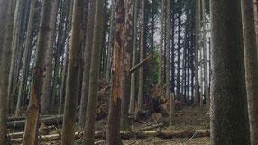 Fichtensterben in Oberberg (mf) Nicht nur der Borkenkäfer ist ein Problem