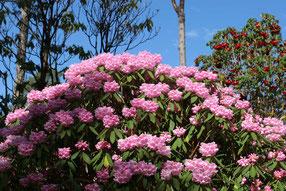 Rosa blühender Rhododendron im Inverewe Gardens