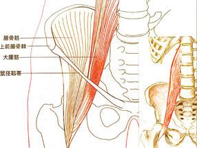 インナーマッスル、大腰筋のイラスト