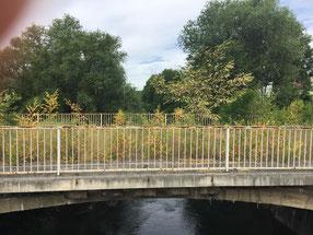 die neue Fußgängerbrücke steht daneben,  die alte einfach stehengelassen und abgesperrt:Zutritt nur für Flora und Fauna
