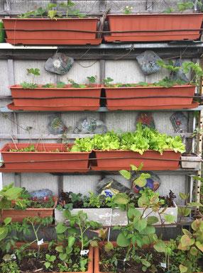 im mittleren Kasten rechts ist nur Pflück-Salat, etwas zu dicht ausgesät.