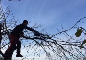 Fachgerechter Baumschnitt mit dem Ziel der Erhaltung ist keine Zauberei!