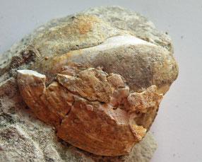 Muschel Astarte danningeri (Foto: W. Danninger)