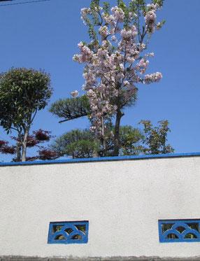 庭では虎の尾桜が揺れています。