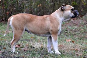 Continental Bulldog Züchter