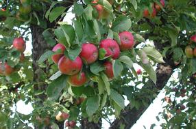 Haslinger Apfel