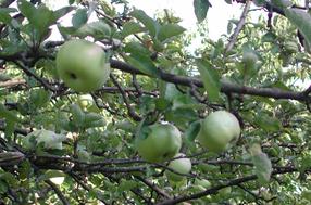 Gloria Mundi Apfel