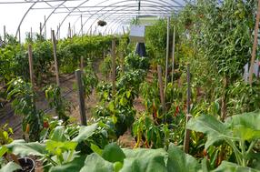 Chili, Paprika und Paradeiser, Führungen Besichtigungen Ab Hof Direktvermarkter Sortenerhalter Sortenraritäten Bio biologisch umweltverträglich nachhaltig umweltschonend Pflanzenschutz Pflanzenjauchen Pflanzenhilfsstoffe Gemüse Gemüsekiste Chili Paprika