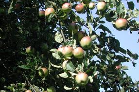 Bohnapfel Apfel