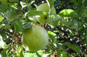 Landsberger Renette Apfel