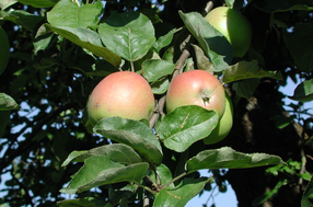 Oberösterreichischer Brünnlering Apfel