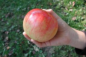Geflammter Kardinal Apfel