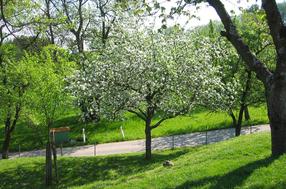 Weißer Klarapfel Apfel