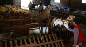 Elevage de chèvres Saanen à Rom, Nouvelle Aquitaine