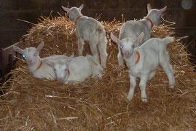 Chevreaux sur paille à la ferme de la Pérotonnerie de Rom, élevage des deux-sèvres