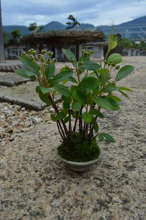 実もの盆栽