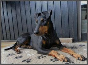 Manchester Terrier von Barkelsby