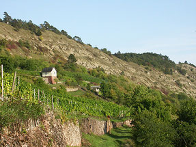 Blick auf die Weinbergslage Gambacher Kalbenstein mit den grauen Muschelkalkfelsen des Grainbergs. Foto Wikipedia