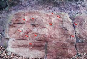 Der klassische Buntsandsteinaufschluss am Bahnhof Gambach. Die Pfeile zeigen auf ca. 245 Millionen Jahre alte Wurzelbahnen ehemaliger Koniferen. Foto: K.-P. Kelber