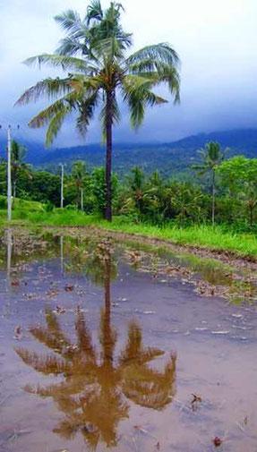 Palme die sich in Reisfeld spiegelt