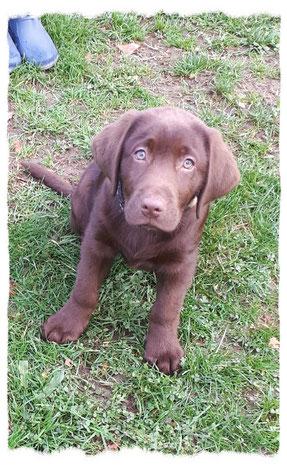 Labrador à l'école pour chiots à Dax