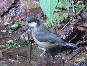 ・幼鳥 2006年6月24日 伊香保森林公園