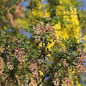 Ginster und Goldregen , Chimäre, Oleander Haus