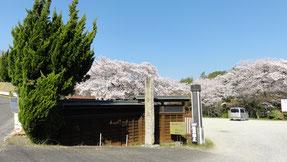 龍泉寺の桜