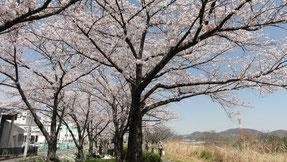 石川河川敷の桜