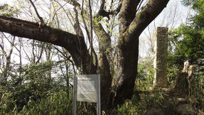 龍泉寺城跡の桜